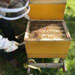 Bienen_in_ihrem_Zuhause
